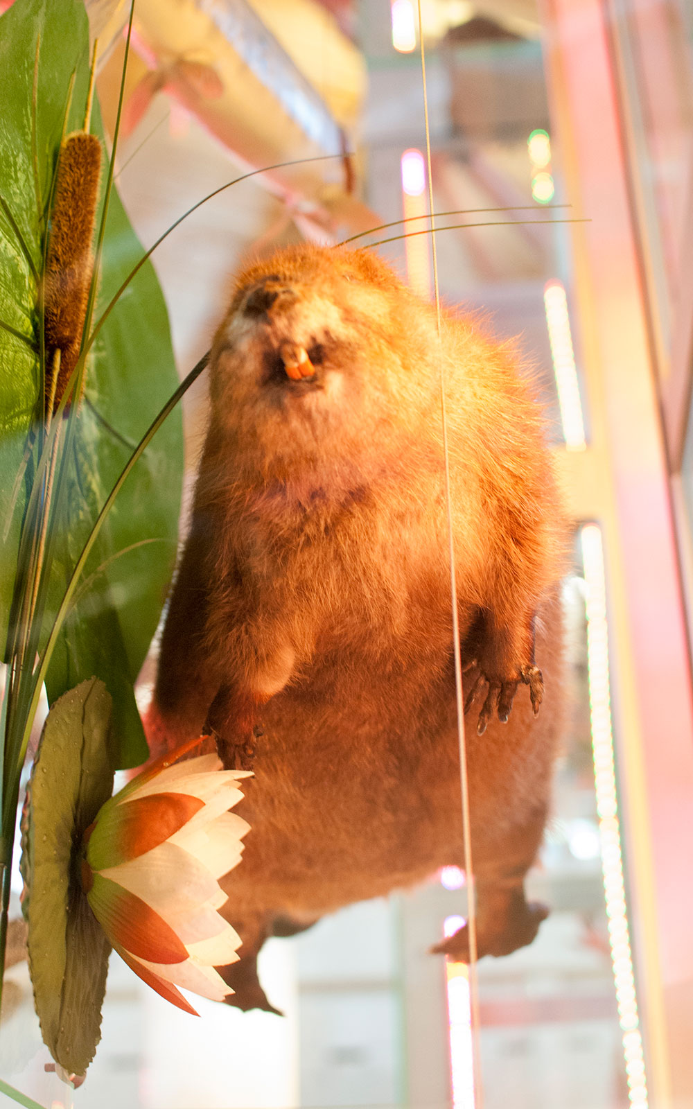 taxidermied beaver